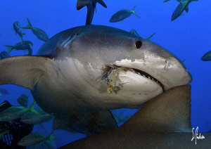This Tiger Shark needed a snack and moved in for a bite. ... by Steven Anderson 